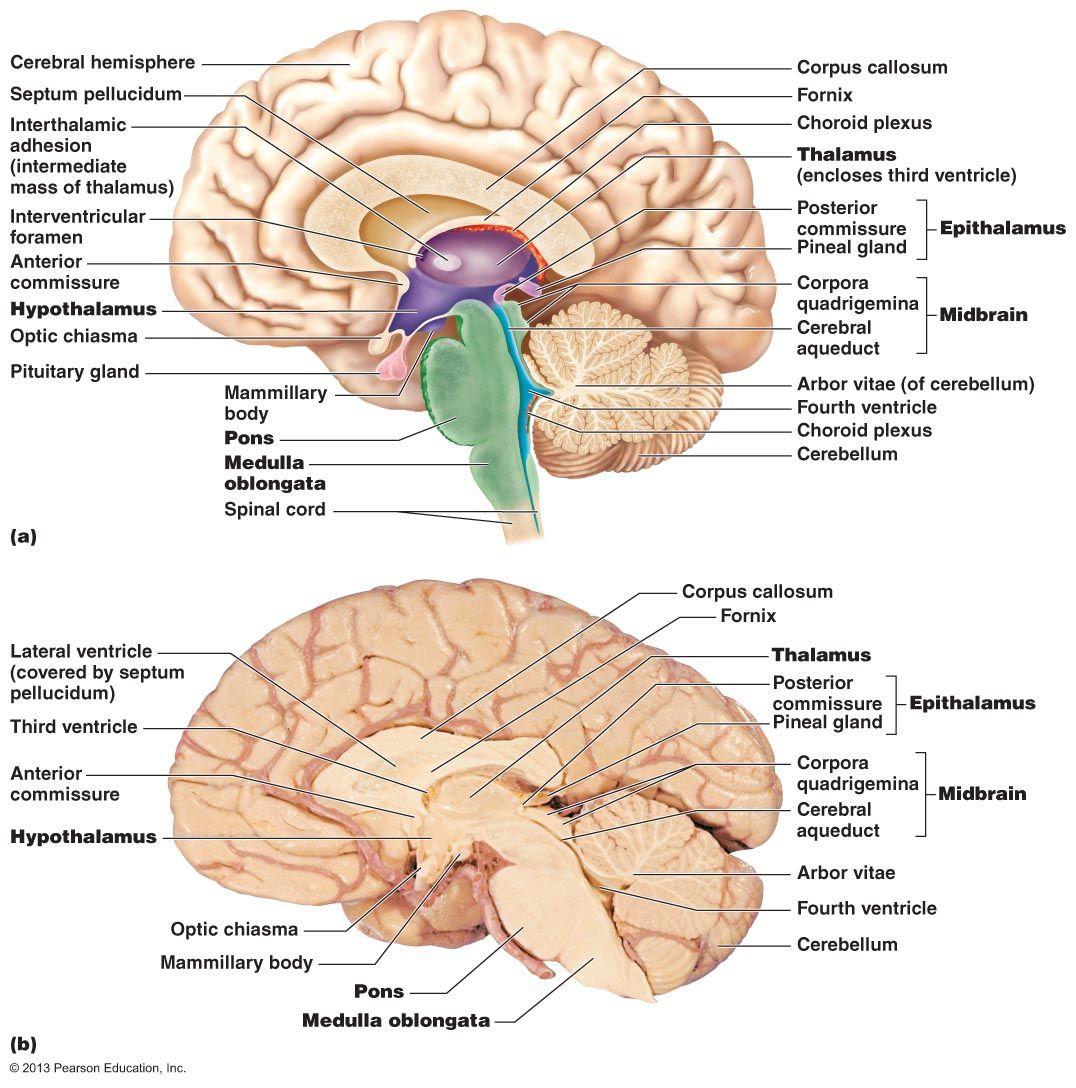 Brain_Midsagittal_Section.jpg (1076×1088) | A & P | Pinterest ...