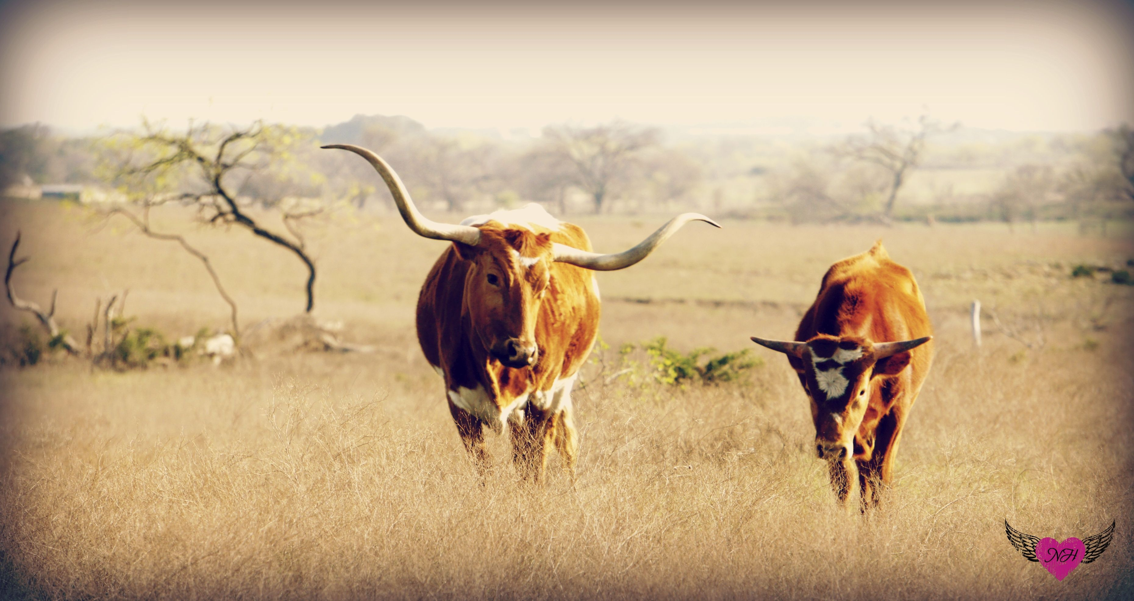 Longhorns #photography #hearts-and-feathers.com | Photography ...