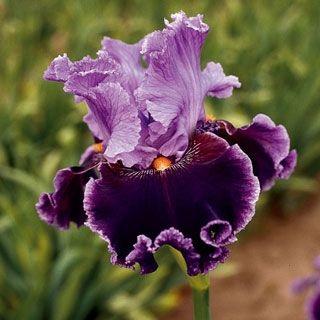 Iris Germanica About Town In Fall 2012 From Wayside Gardens On Shop Catalogspree Com My Personal Digital Mall Iris Flowers Iris Garden Bearded Iris