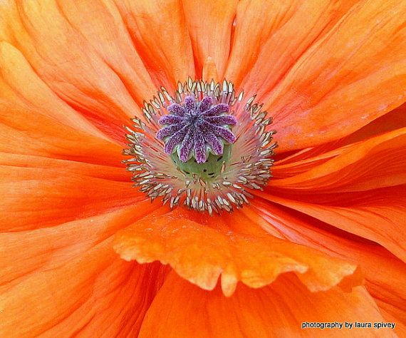 poppy  perfect  purple  ornate  center  photograph by paradisereal, $24.00