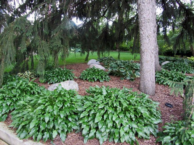 Image Result For Landscaping Under Pine Trees