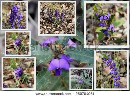 https://thumb7.shutterstock.com/display_pic_with_logo/954436/250704061/stock-photo-dainty-collage-of-bright-purple-holly-leaved-hovea-chorizemifolia-west-australia-native-wildflower-250704061.jpg