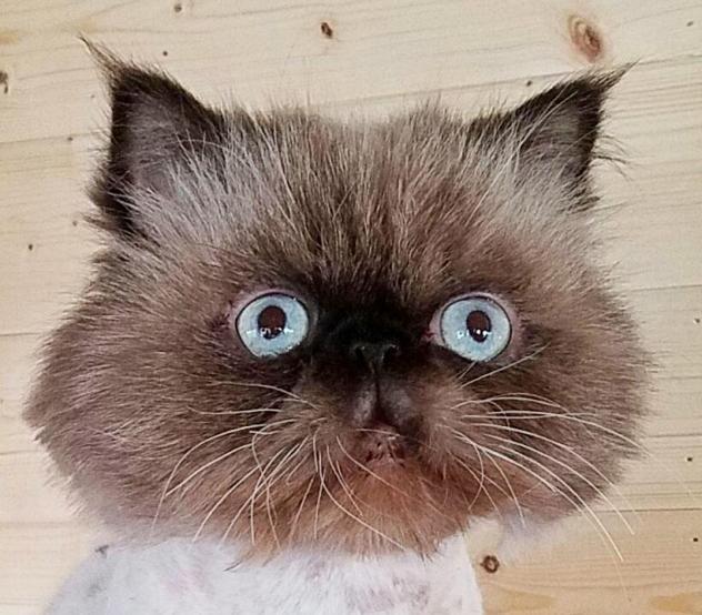 Adopt Infiniti Aka Fin On Animals Kittens Cats