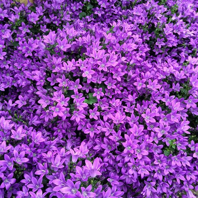 Bell Flowers Make A Beautiful Ground Cover Or Colourful Additon To A Rock  Garden
