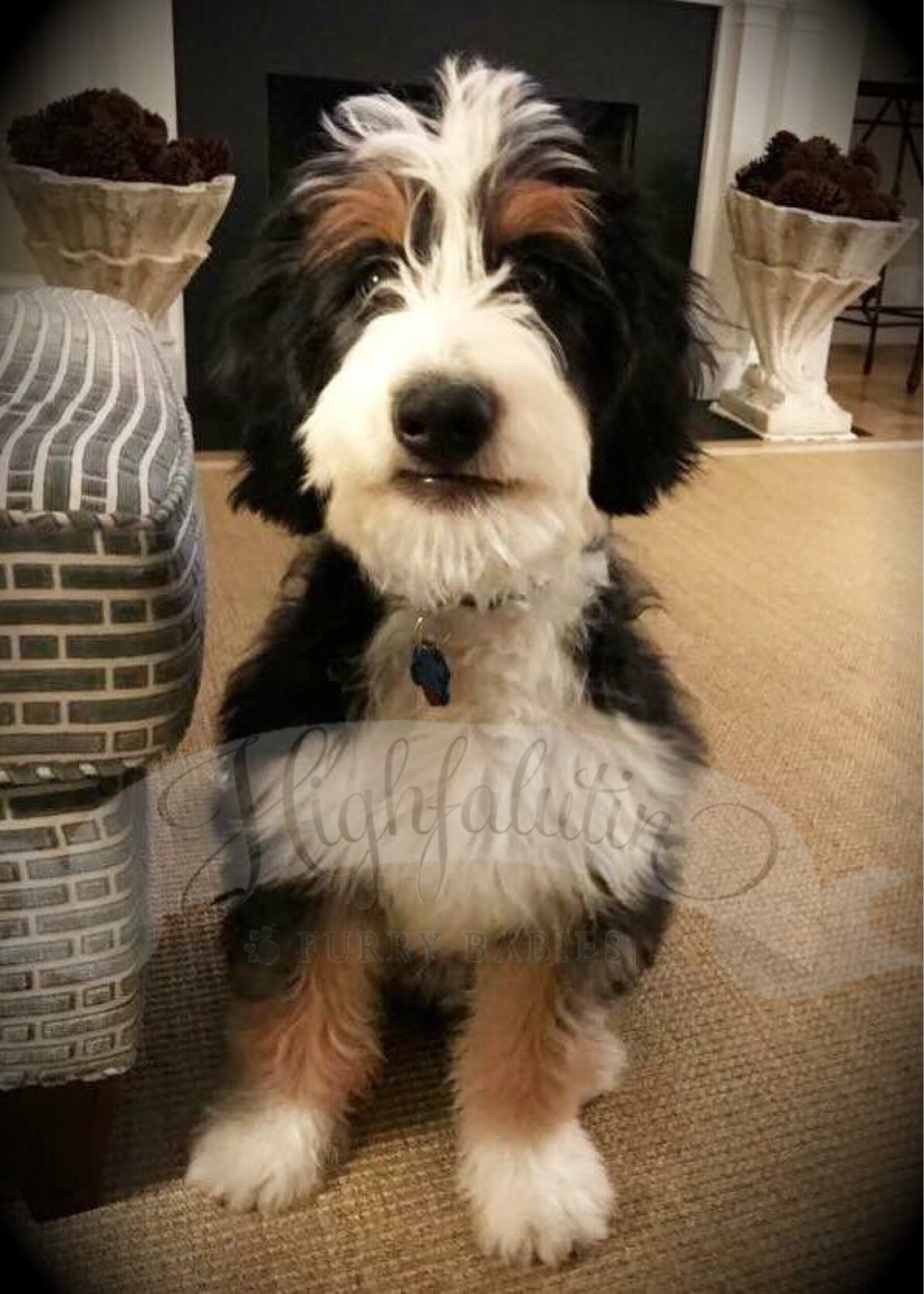 Mini Bernedoodle Bernese Mountain Dog Cross With Poodle