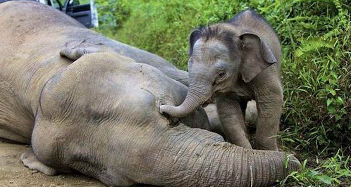 Sign Ban All Ivory In The US To Stop Cruel Elephant Poaching