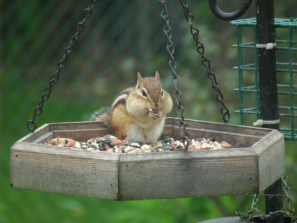 good get ways rid of from to repel how chipmunks squirrels garden