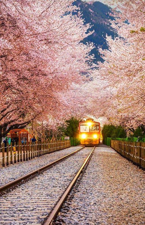 Sakura Tunnel Japan Korea Travel Japan Travel South Korea Travel