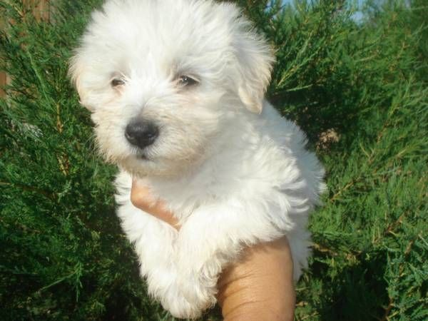 This might be our new addition. Westiepoo Dog love