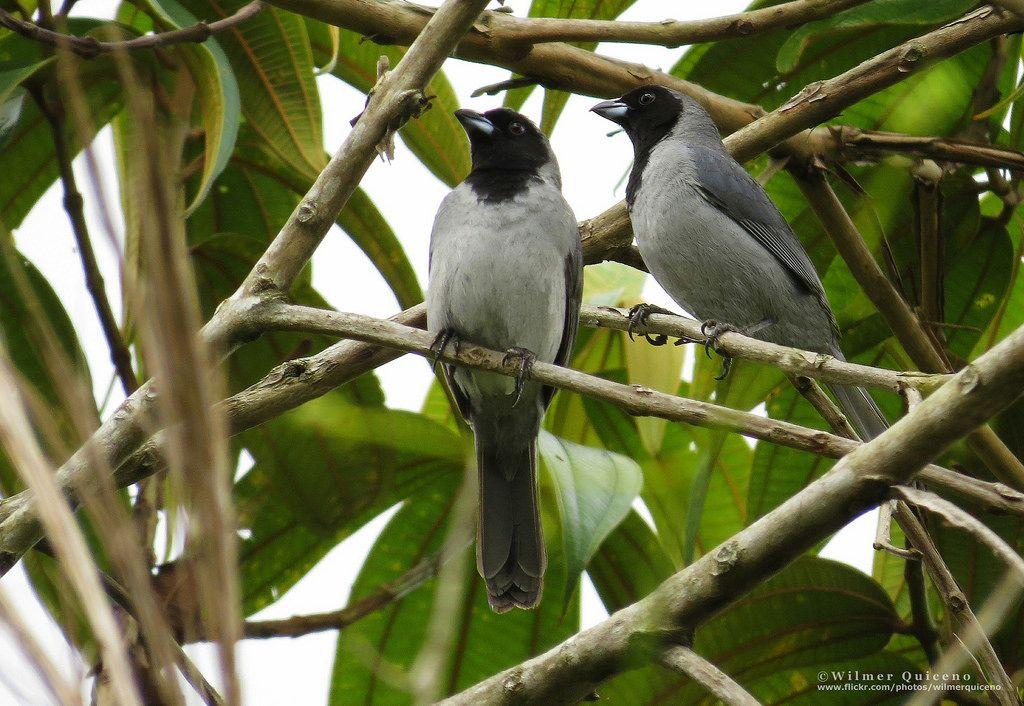 Black-faced Tanager (Schistochlamys melanopis) 2 males