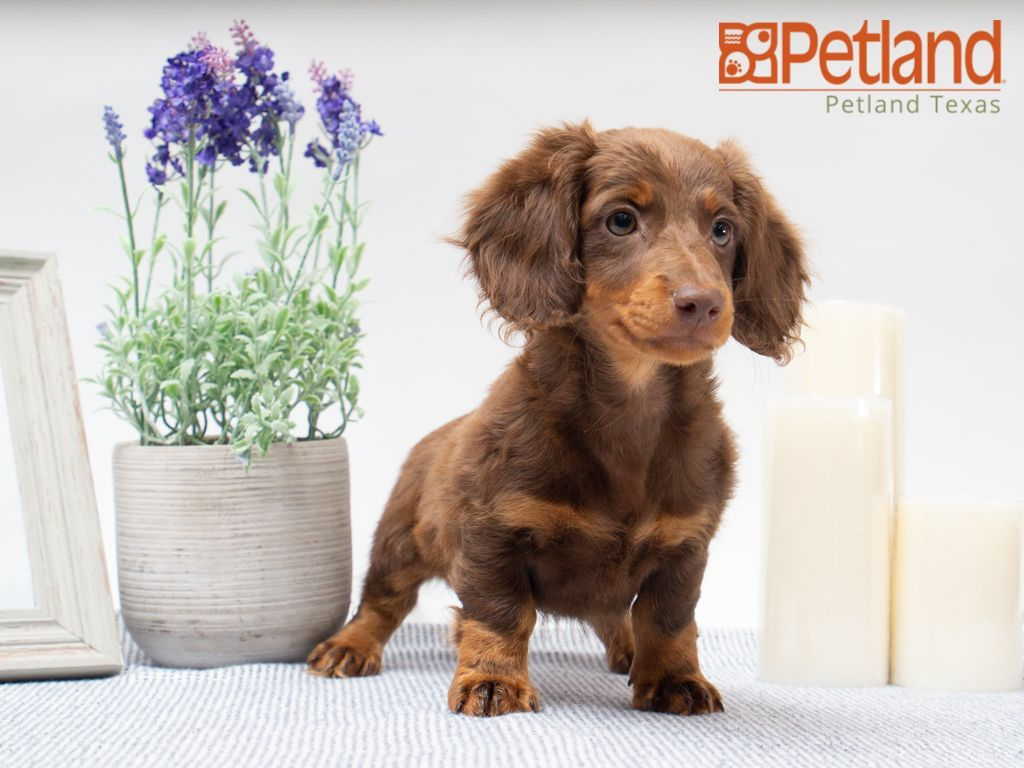 Petland Texas has Dachshund puppies for sale! Check out
