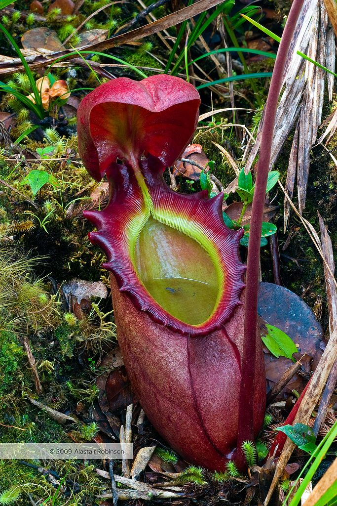 Pitcher Plant (Nepethes): A carnivorous plant that traps ...