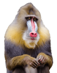 Macaque S Png Free Png Images Mandrill Monkey Mandrill Monkey