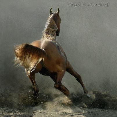 Arabian Horse....run....!