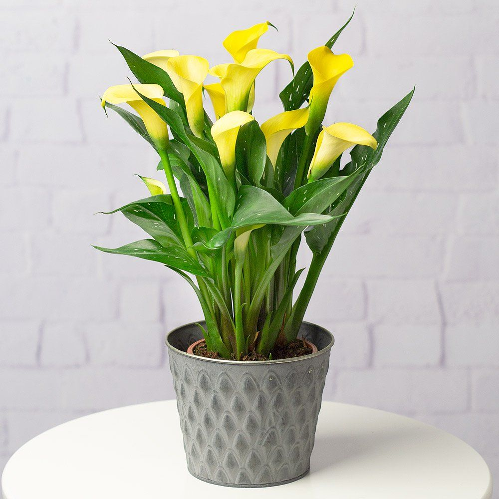 Yellow Calla Lily Plant Calla Lily Plants Flower Pots