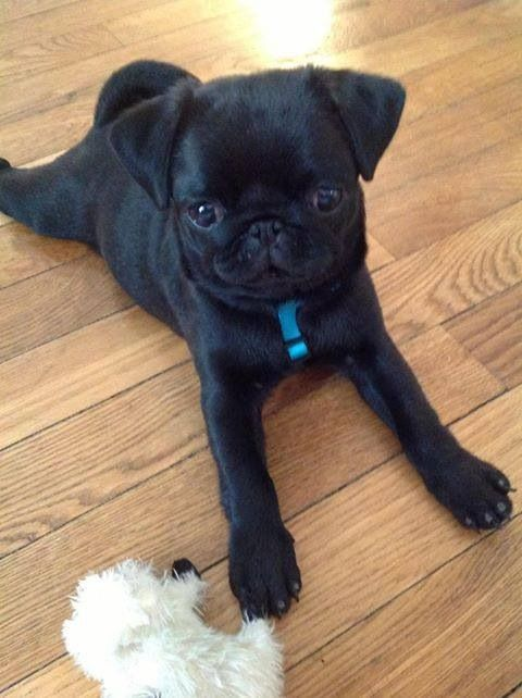 Baby Pugs Are The Cutest I Miss My Champ Being This Small