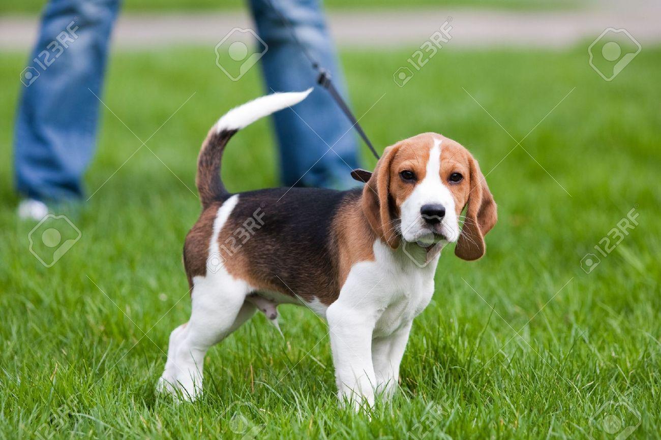 Perro En El Prado Verde Cachorro De Beagle Caminando Fotos