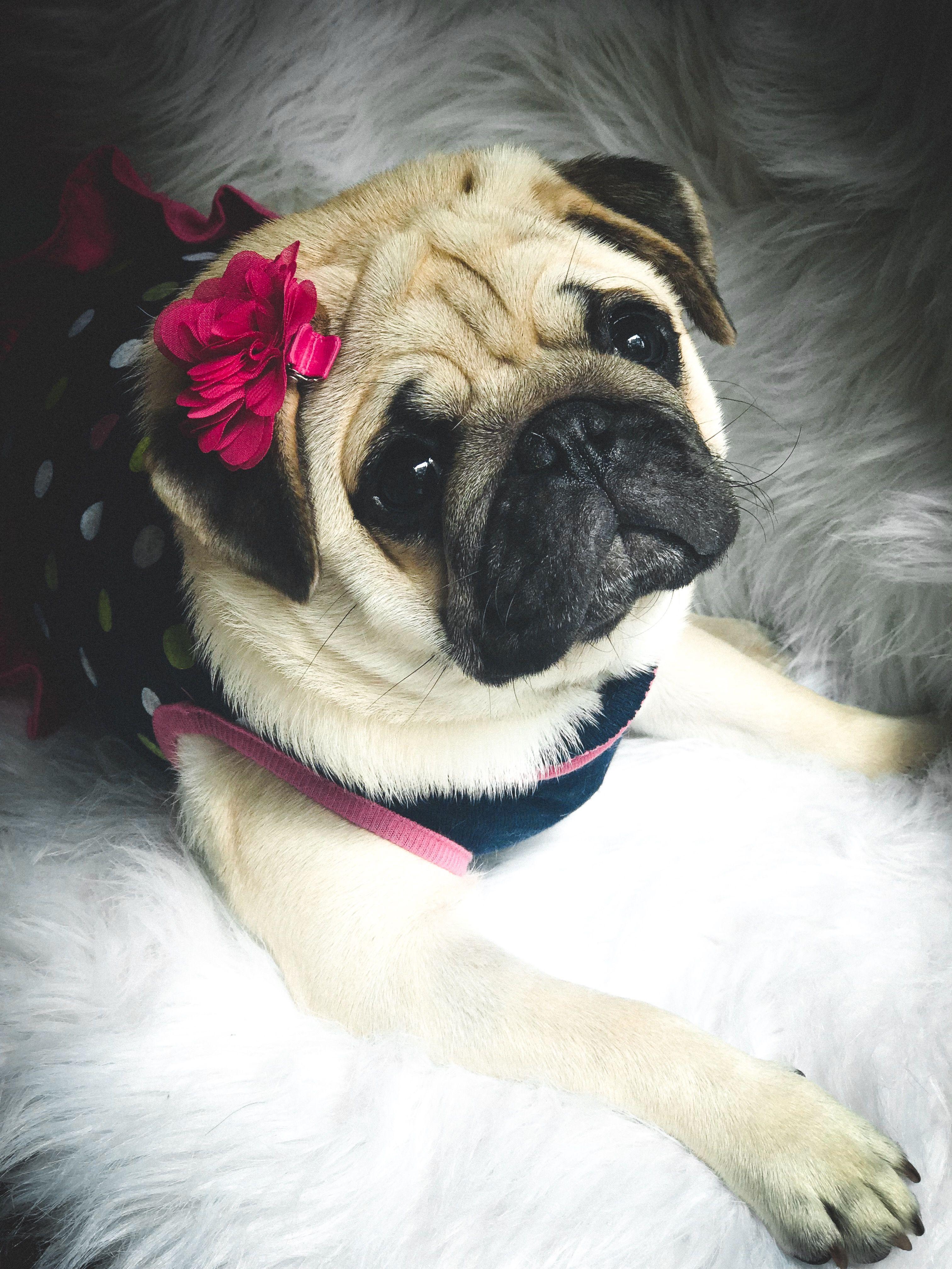 Absolutely Beautiful Fawn Pug Girl Muffy Pugs Bebes Pugs Pug