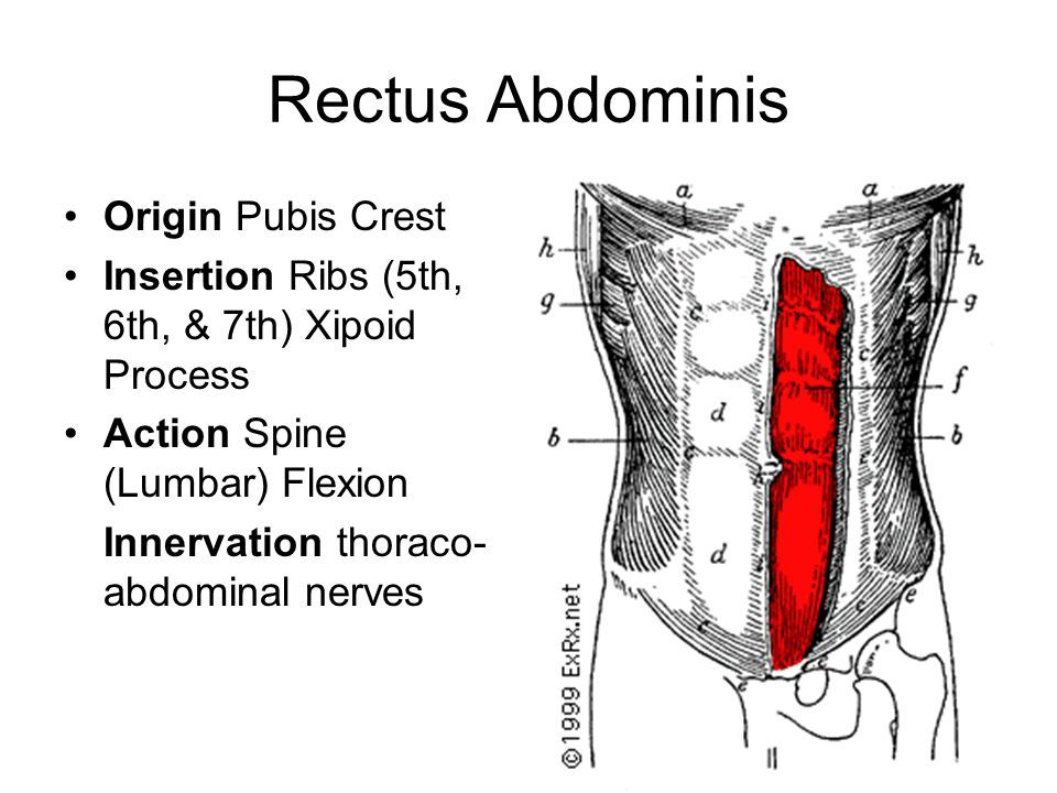 Rectus Abdominis Origin And Insertion Google Search Muscles