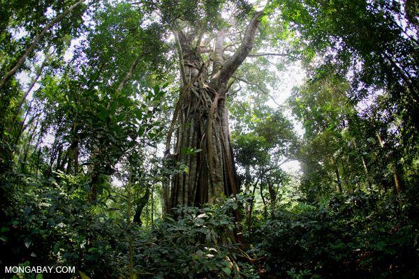 Hutan Tropis Mongabay Co Id Hutan Tropis Pohon
