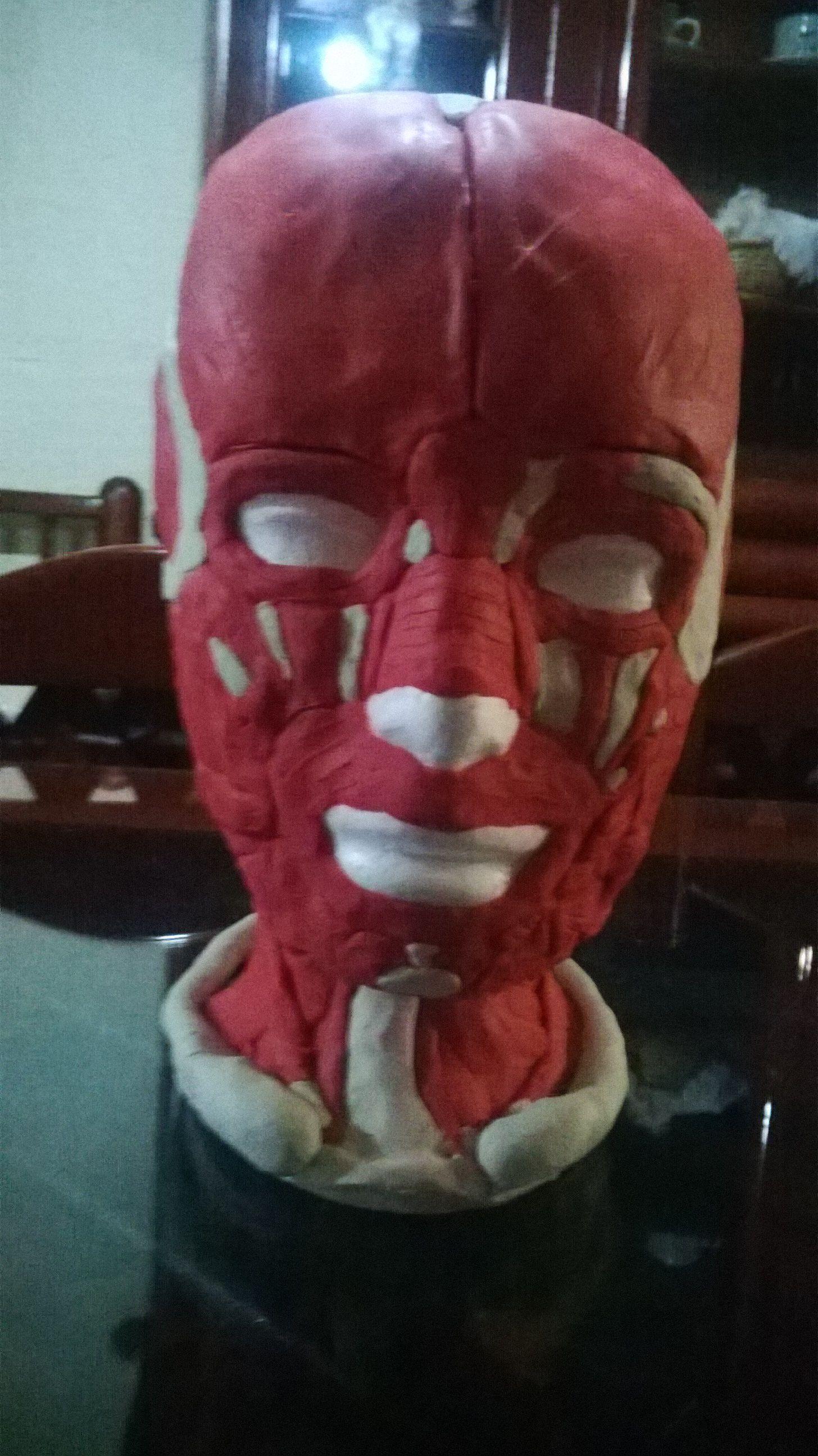maqueta de anatomia muscular de la cara equipo 8 y 7 | Maquetas ...