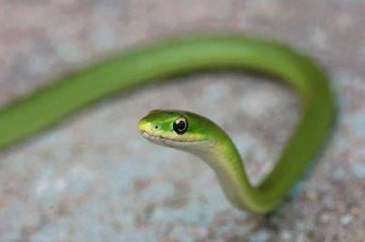 Photo Garden Snakes Can Be Dangerous Snakes Also Known As