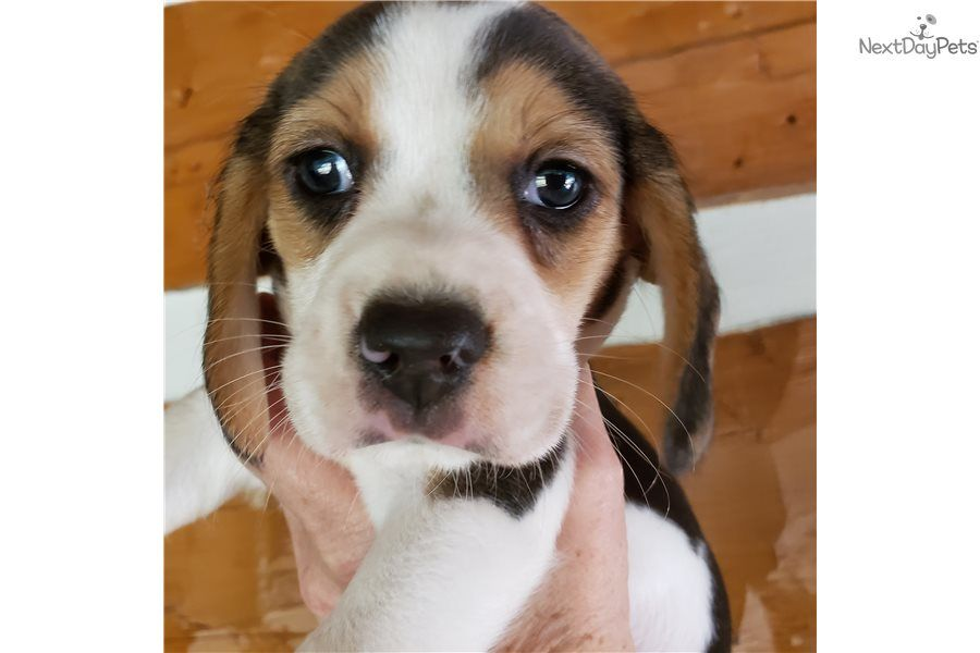 Corgi Puppies For Sale Knoxville Tn References