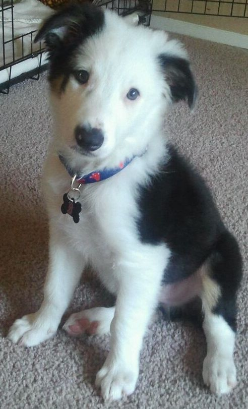 Never Liked The White Faced Border Collies Until My Female Had This Little Guy Man Did I Fall In Love With Him Border Collie Collie Border Collie Puppies
