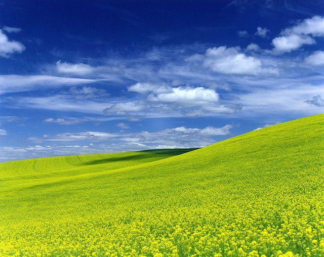 Palouse, Canola Field by Zeb Andrews, via Flickr