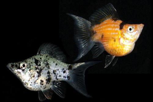 Balloon Mollies Fish Google Search Platy Fish Aquarium Fish Fish Ponds