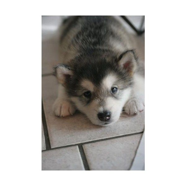 Cute And Adorable Alaskan Malamute Puppy Los Angeles Animals Liked On Polyvore Featuring Animals Malamute Puppies Alaskan Malamute Puppies Puppies