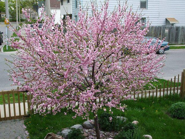 Dwarf Flowering Cherry Plum Or Almond Tree Flowering Trees