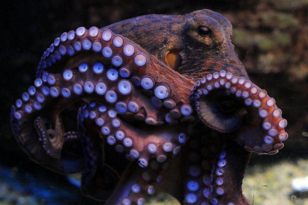Octopus Vulgaris Octopus Common Octopus Octopus Decor