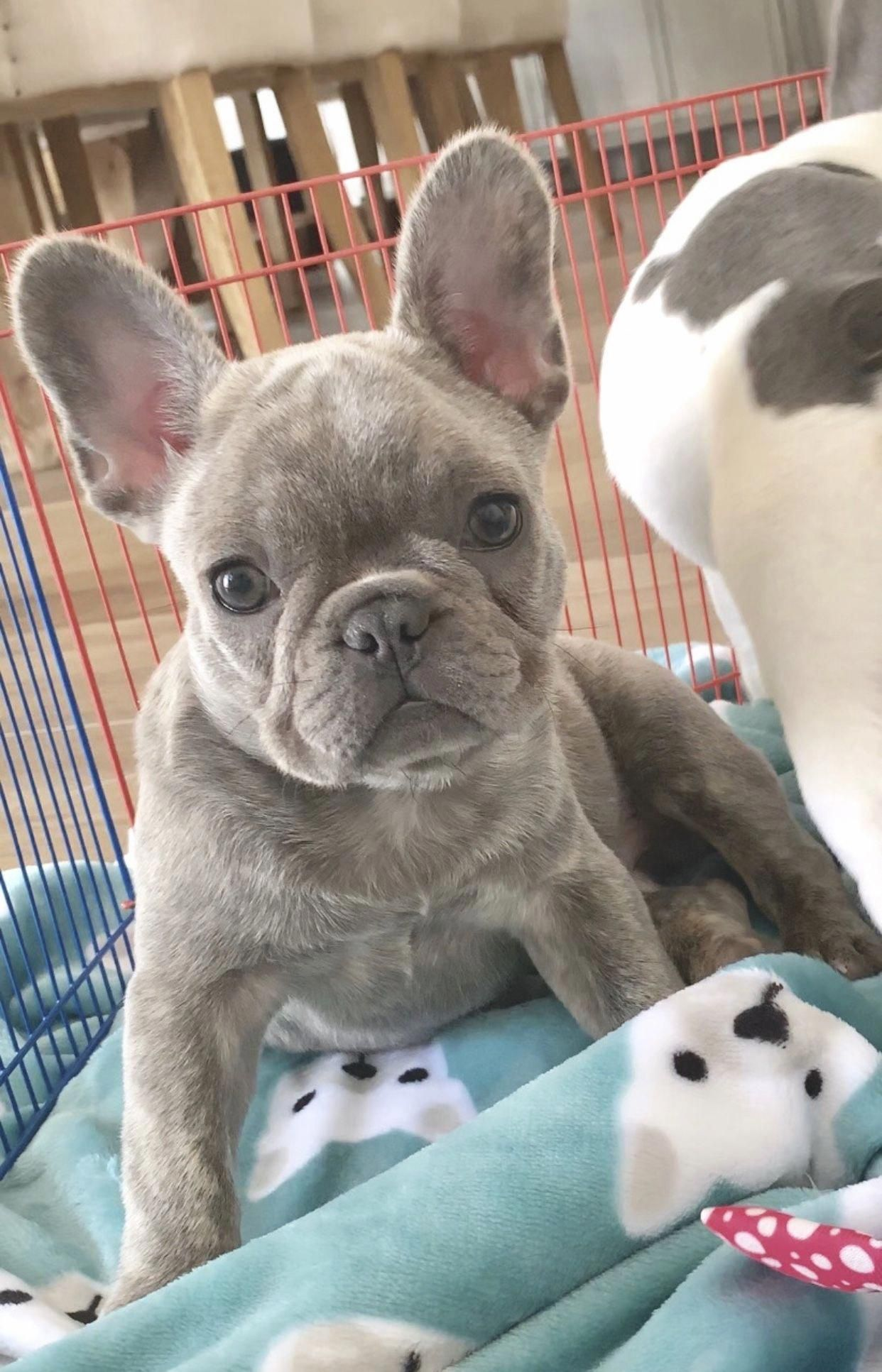 French Bulldog Playful And Smart In 2020 French Bulldog