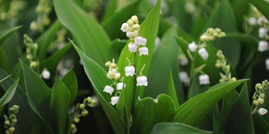 la plante clochettes a toujours symbolis le printemps et les celtes lui accordaient un statut. Black Bedroom Furniture Sets. Home Design Ideas