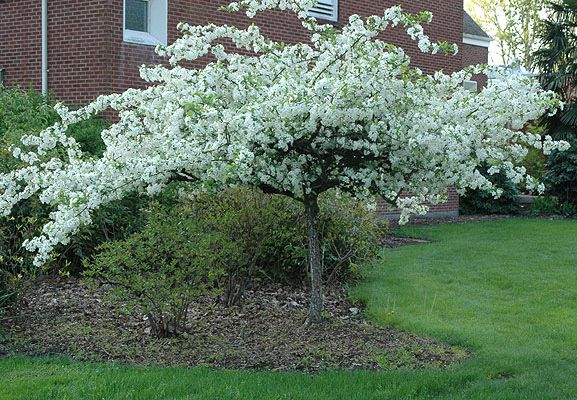 Malus sargentii great little tree only 6 to 8 ft for for Small flowering trees full sun