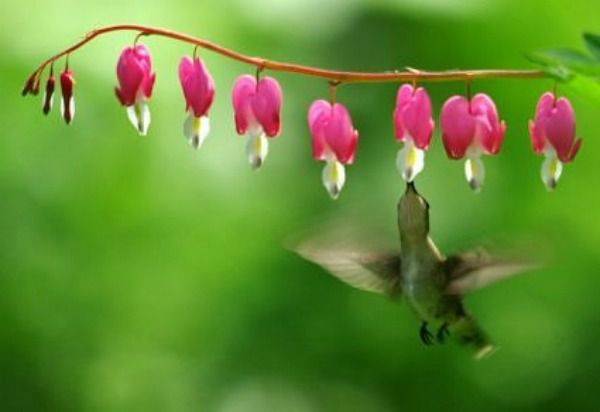 Bleeding Heart For Hummingbirds
