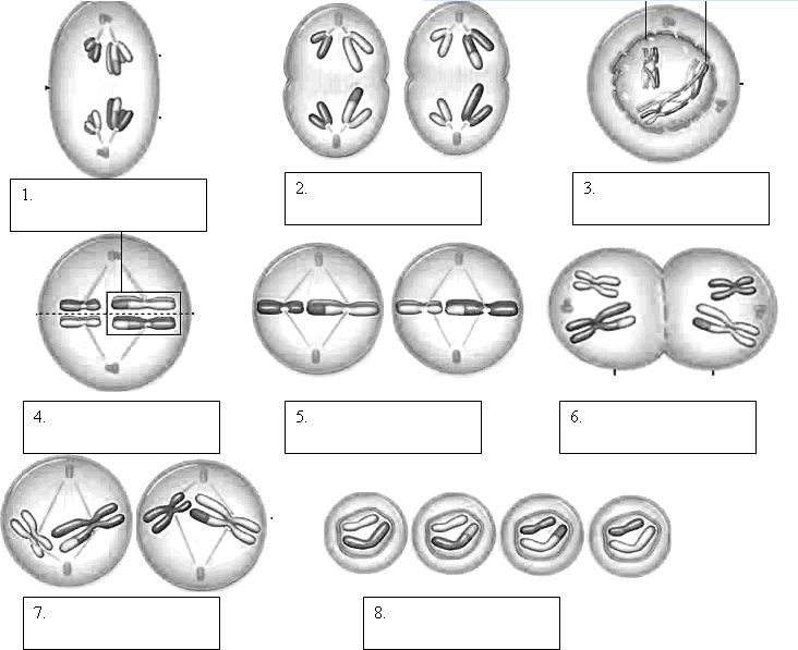 Mitosis phases worksheet smart exchange usa sneakerdogs phases cell biology ccuart Choice Image