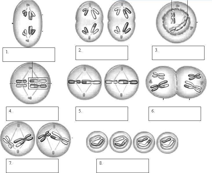 Mitosis Phases Worksheet Smart Exchange Usa Sneakerdog S Phases Mitosis Meiosis Biology Classroom Mitosis