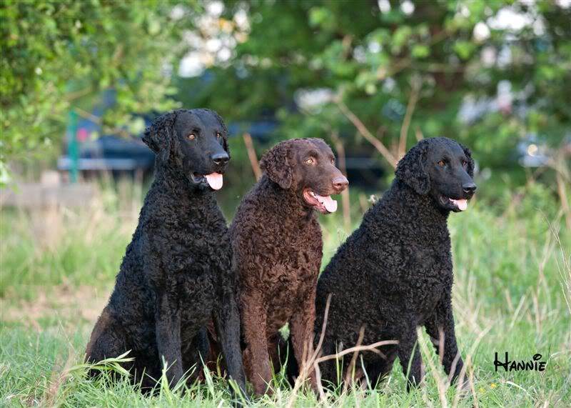Curly Coated Retriever Puppy Curly Coated Retriever Big Dogs