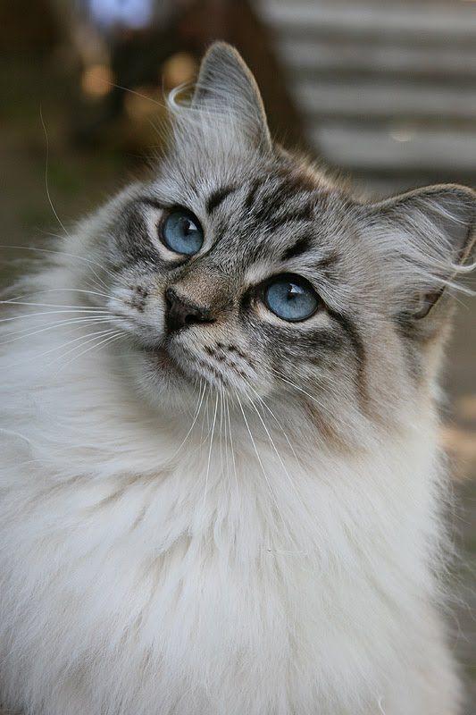 Siberian Cat 2 Picturesofcatsorg Siberian Cat Siberian Forest Cat Beautiful Cats