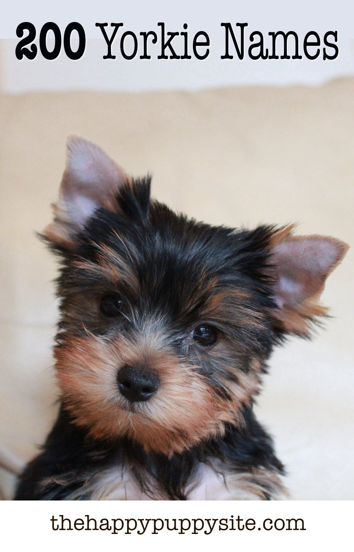 small yorkie puppy yorkie names 200 amazing ideas for naming yorkshire 3263