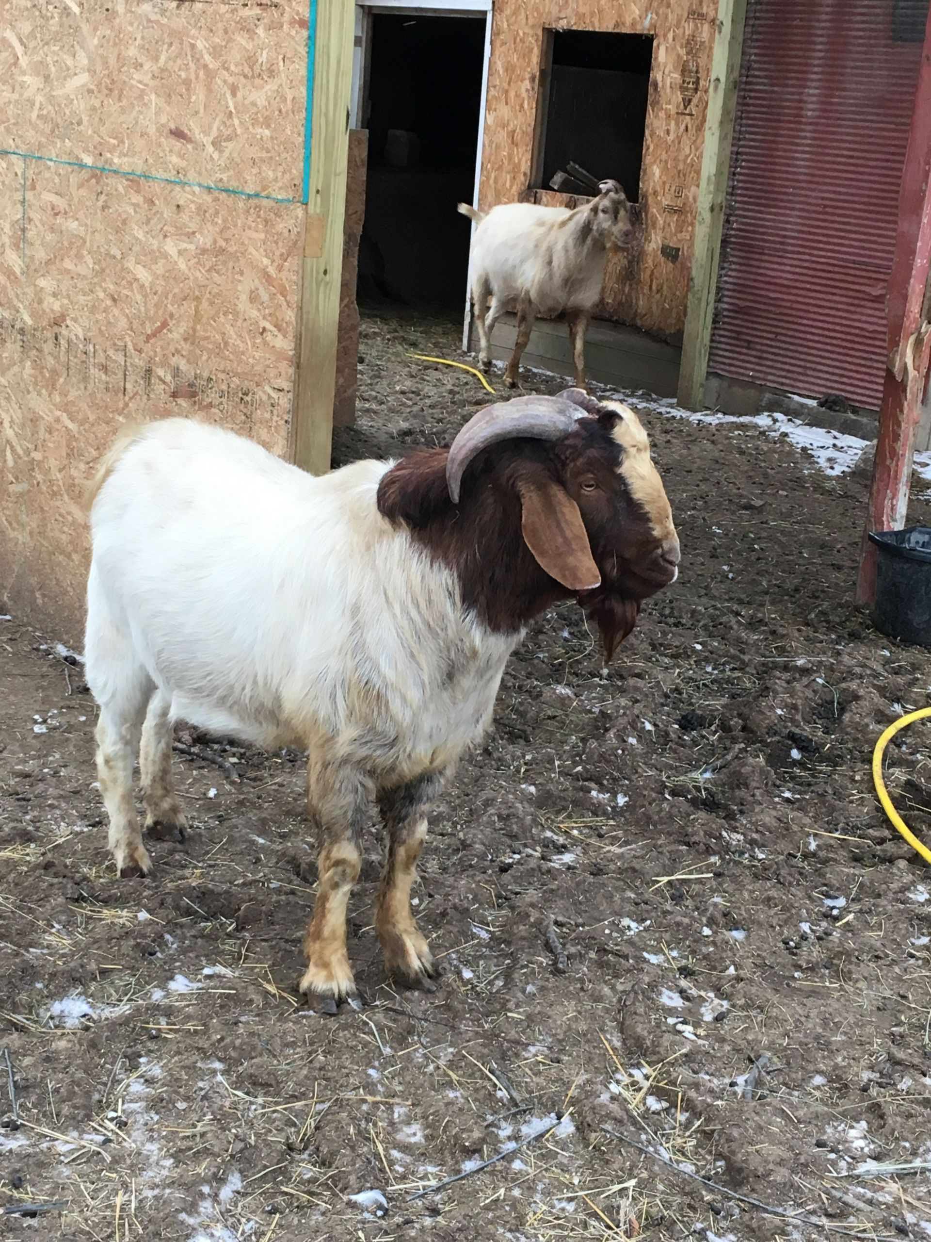 7 Baby Goats For Sale Farm Animals