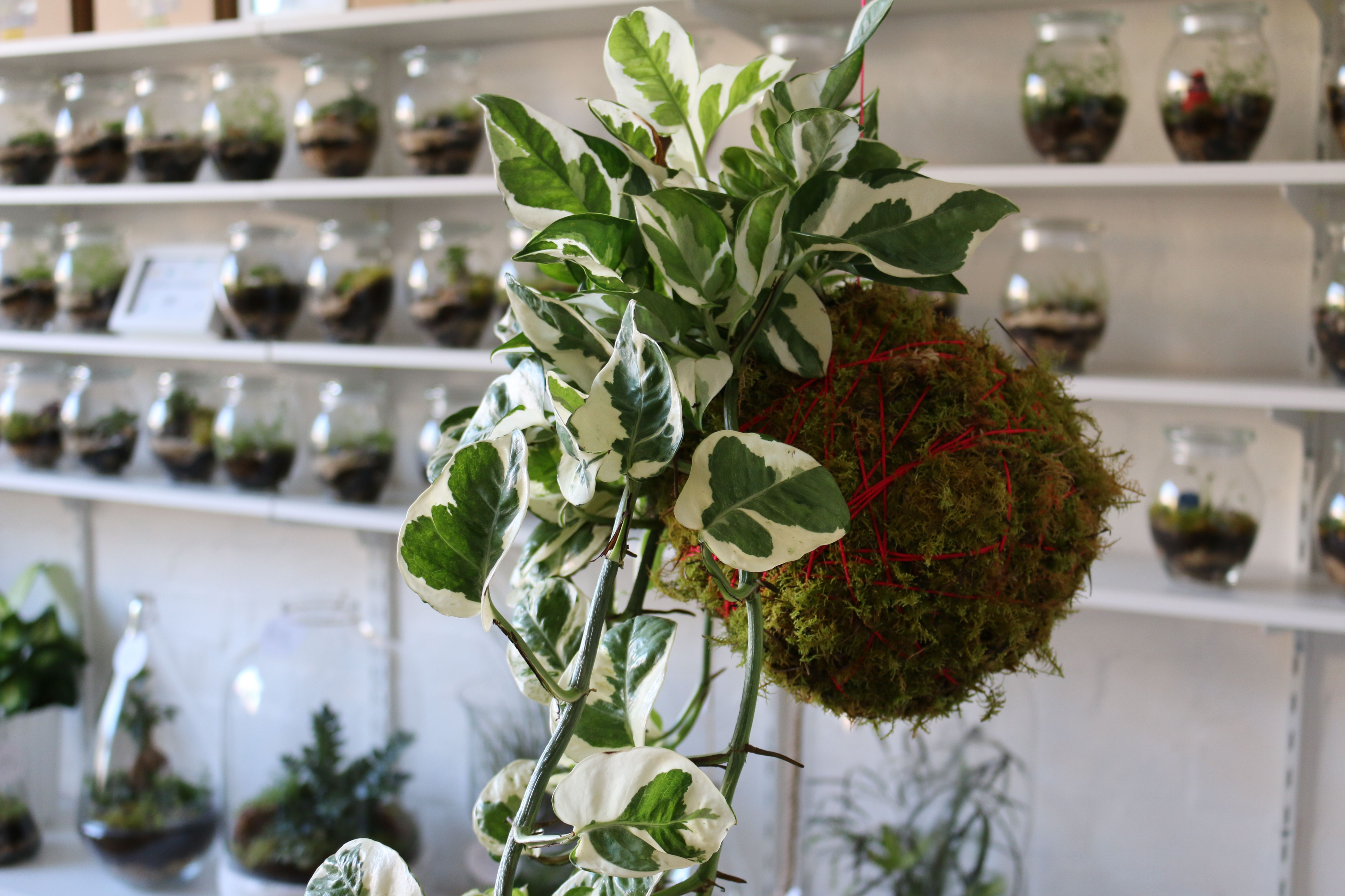 Kokedama Marble Queen Little Lands Pinterest Little Land