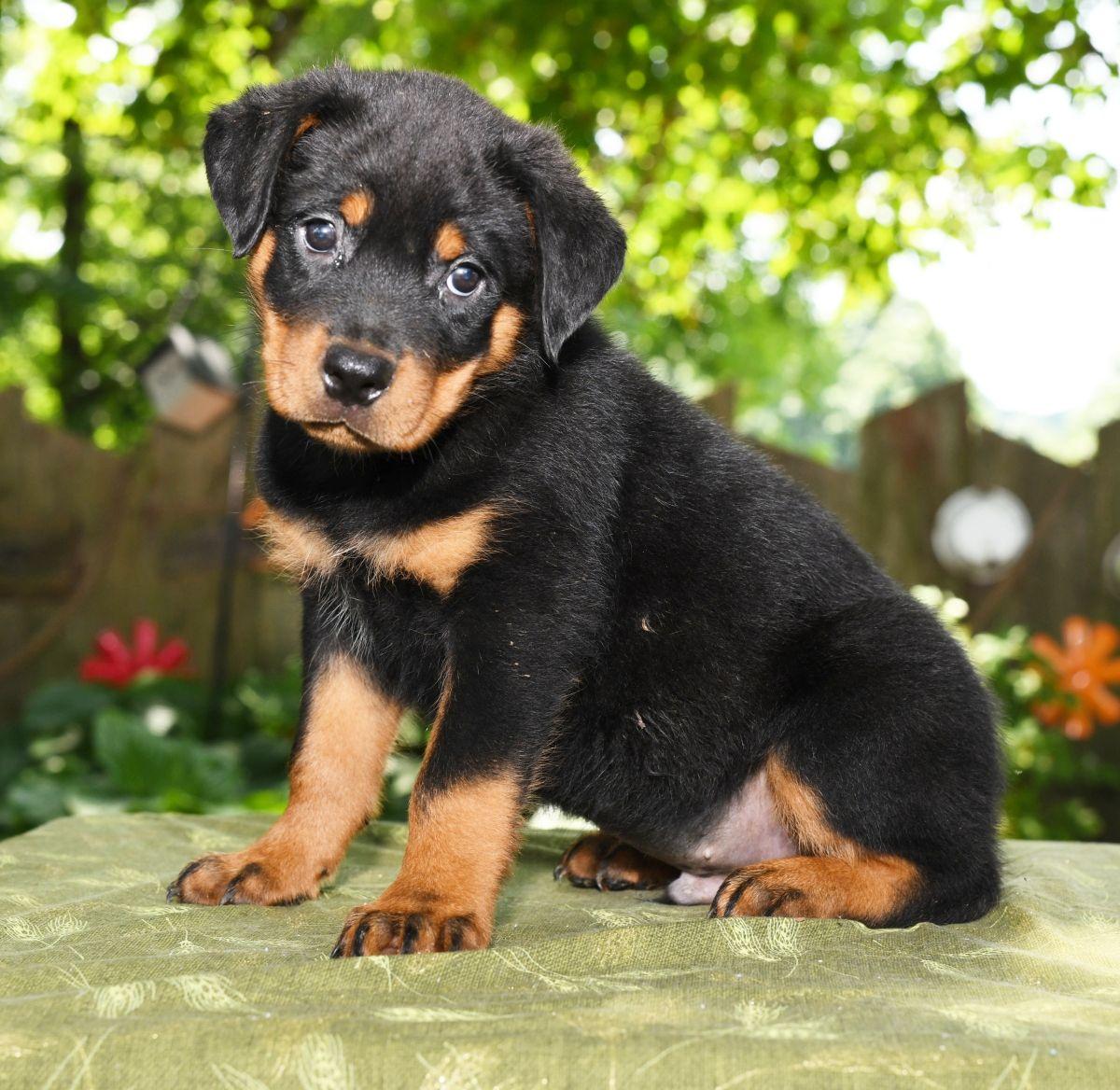 Friendly Rottweiler Rottweiler Puppies Dog Breeder Rottweiler Dog