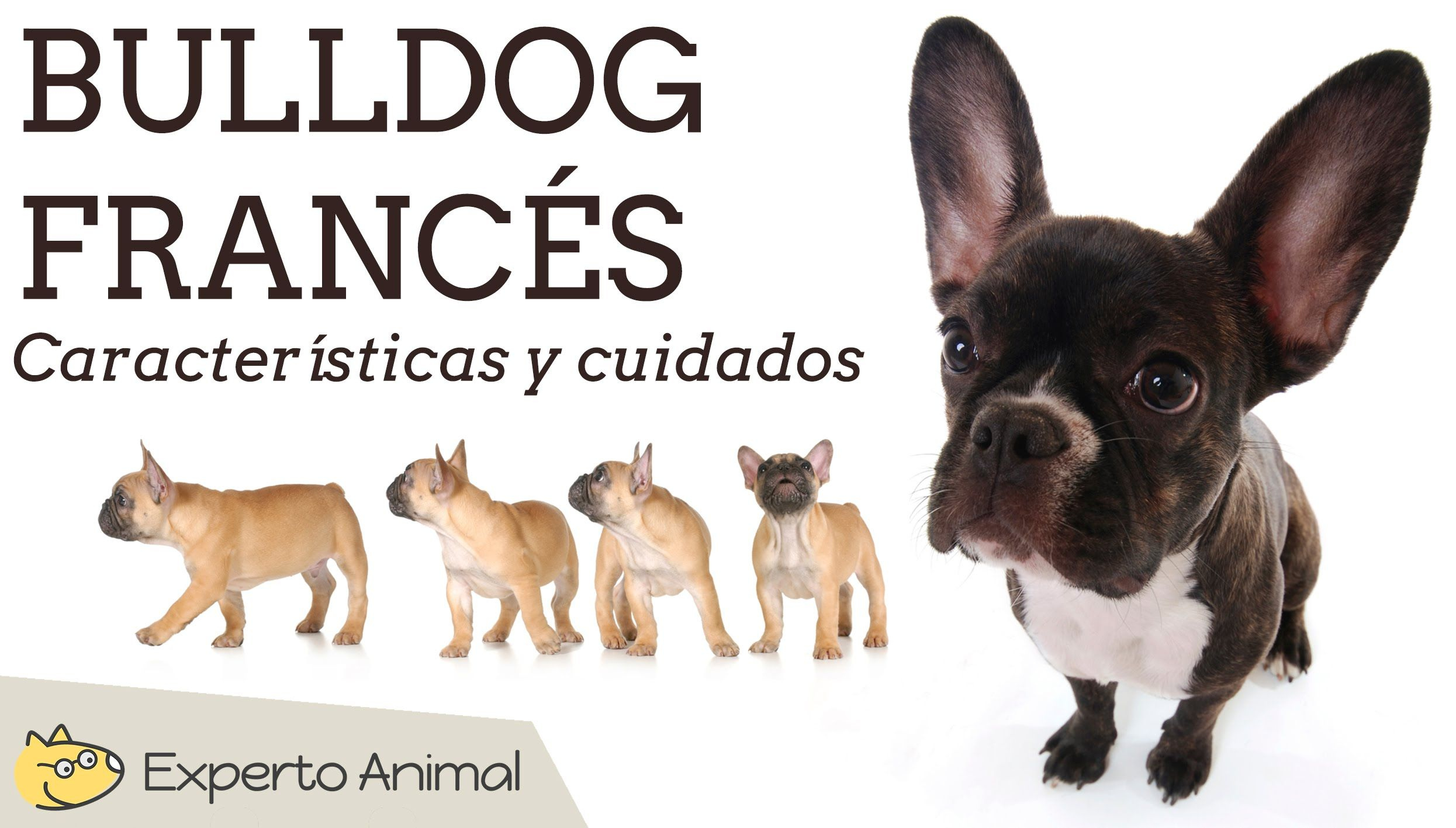 bulldog Cuidados francês