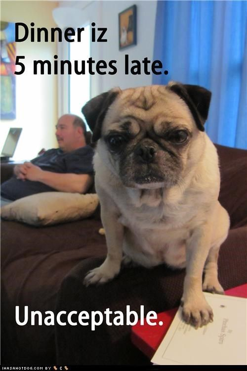 Dinner Now Cute Pugs Funny Dog Memes Cute Funny Animals