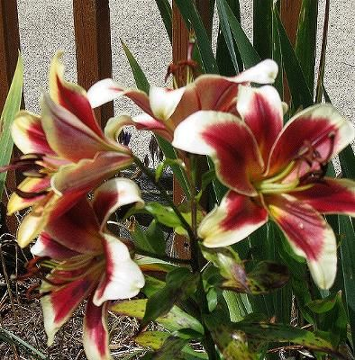 oriental tree lily    Garden Pleasure: These are some of the lilies blooming right now.    some of these tree lilies can grow to eight feet tall,  the tallest of ours so far is just over six