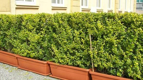 Absolut winterharte Kübelpflanzen – erprobte Auswahl (pflegeleicht) #sichtschutzpflanzen