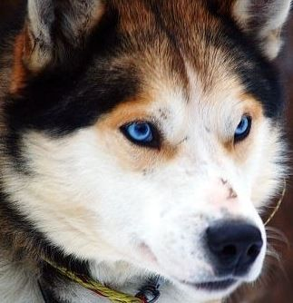 Alaskan Siberian Husky Mix Husky Dogs Siberian Husky Mix